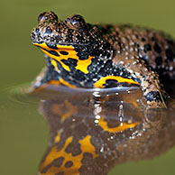 Yellow-bellied Toad (Bombina variegata) in pool, Europe