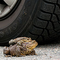 Common Toad / European Toad (Bufo bufo) pair in front of car tire migrating in amplexus on road to breeding pond in spring, Germany