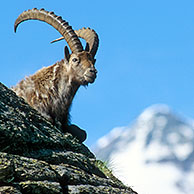 Ibex male (Capra ibex) resting on rock, Gran Paradiso NP, Italy