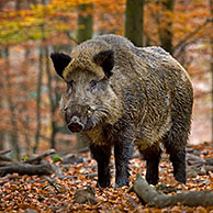 Wild boar (Sus scrofa) in autumn forest in the Belgian Ardennes, Belgium