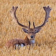 Fallow deer (Dama dama) bucks with antlers covered in velvet in wheat field in summer