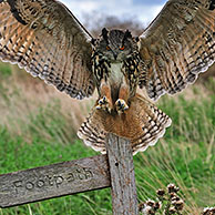 Eagle owl (Bubo bubo) landing with wings spread on perch in meadow, England, UK