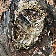 Little owl (Athene noctua) at nest hole in tree, England, UK