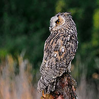 Long-eared owl (Asio otus) perched along field in England, UK