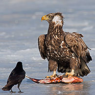 White-tailed Eagle / Sea Eagle / Erne (Haliaeetus albicilla) eating fish and Carrion Crow (Corvus corone) on frozen lake in winter, Germany