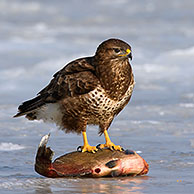 Carrion crow (Corvus corone) mobbing Common buzzard (Buteo buteo) feeding on fish on frozen lake in winter, Germany