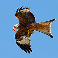 Red Kite (Milvus milvus) in flight carrying meat in beak, UK