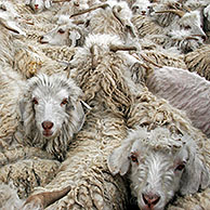 Flock of Angora goats (Capra hircus) for production of mohair wool in Lesotho, Africa