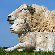 Domestic sheep (Ovis aries) white ewe with lamb, Germany
