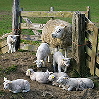 Domestic Texel sheep (Ovis aries) ewe with lambs in corral, The Netherlands