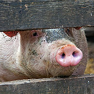 Two curious domestic pigs (Sus scrofa domesticus) looking through planks of wooden fence, Germany