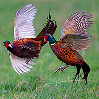 Common Pheasant (Phasianus colchicus) cocks fighting in field, Germany
