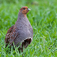 Grey Partridge (Perdix perdix) cock in meadow, Germany
