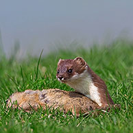 European Stoat / Ermine (Mustela erminea) with killed European Ground Squirrel (Citellus citellus), Austria