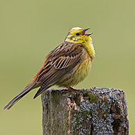 Yellowhammer (Emberiza citrinella) male calling from fence post in field