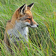 Red fox (Vulpes vulpes) sitting in high grass in meadow, the Netherlands