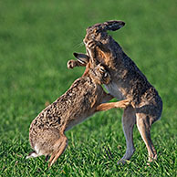 European Brown Hares (Lepus europaeus) boxing / fighting in field during the mating season, Germany