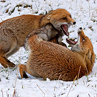 Two Red foxes (Vulpes vulpes) fighting in the snow in winter, Italy