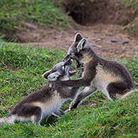 Arctic fox (Vulpes lagopus / Alopex lagopus) cubs play fighting at den on the tundra in summer, Lapland, Sweden