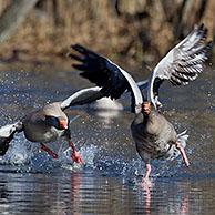 Greylag goose / graylag goose (Anser anser) chasing competitor away from lake, Germany