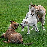 Young dogs (Canis lupus familiaris) playing in garden