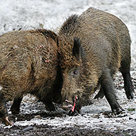 Two aggressive wild boars (Sus scrofa) in the snow in winter fighting vigorously by slashing each other with their tusks, Bavarian Forest National Park, Germany