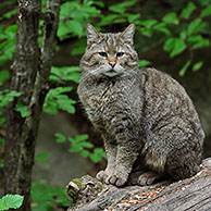 Wild cat (Felis silvestris) sitting on fallen tree trunk in woodland, Bavarian Forest, Germany