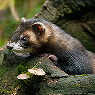 Polecat (Mustela putorius) on tree trunk in forest, Germany