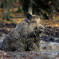 Wild boar (Sus scrofa) covered in mud taking a mudbath in quagmire, Belgian Ardennes, Belgium