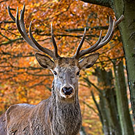 Red deer (Cervus elaphus) stag close-up in autumn forest