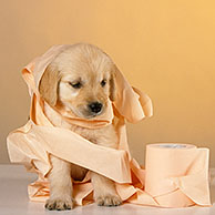 Golden retriever (Canis lupus familiaris) pup playing with toilet paper