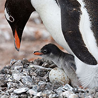 Gentoo Penguin (Pygoscelis papua) with chick and egg in nest in rookery at Port Lockroy, Antarctica