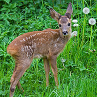 Roe deer (Capreolus capreolus) fawn among vegetation in forest's edge, Germany