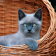 British shorthair kitten (Felis catus) in basket