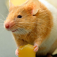 Golden Hamster (Mesocricetus auratus) eating cheese
