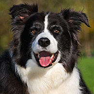 Border Collie (Canis lupus familiaris) in garden