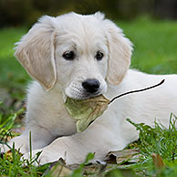 White Golden retriever (Canis lupus familiaris) pup playing with leaf in garden