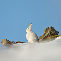 Mountain hare (Lepus timidus), in the snow in winter, Cairngorms, Scotland, UK. For sale only in Belgium and Germany