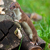 Ermine / stoat (Mustela erminea) hunting in forest, Germany