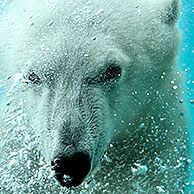 Polar bear (Ursus maritimus) swimming underwater and blowing air bubbles