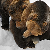 Eurasian brown bear (Ursus arctos arctos) female with two two-year-old cubs in the snow in winter, Bavarian Forest National Park, Germany