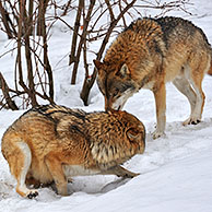Frightened subordinate European / Grey wolf (Canis lupus) in the snow in winter showing submissive behaviour towards dominant wolf by flattening the ears and keeping tail tucked between the legs, Bavarian Forest National Park, Germany