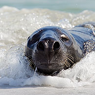 Grey seal / gray seal  (Halichoerus grypus) lying on beach and yawning