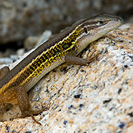 Large psammodromus / Lizard (Psammodromus algirus) on rock, Extremadura, Spain