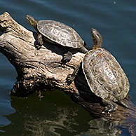 Spanish terrapins / Mediterranean pond turtles (Mauremys leprosa) basking in the sun on log in lake, Extremadura, Spain