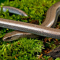 Slow worm / slow-worm / slowworm (Anguis fragilis) in a forest of the Morvan, France