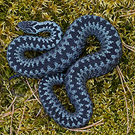Common European Adder (Vipera berus) curled up in striking pose, grey color phase, Sweden