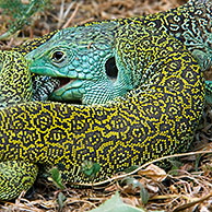 Ocellated lizards (Lacerta lepida) mating, Sierra de Gredos, Spain