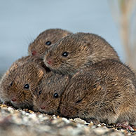 Common voles (Microtus arvalis / Microtus arvensis) huddling together on dyke and seeking refuge at spring tide near the Wadden Sea, the Netherlands