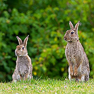 Alert European rabbits / common rabbit (Oryctolagus cuniculus) sitting up and looking for danger in field